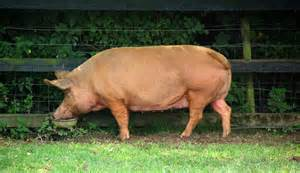 The tamworth a pig of a different color hobby farms