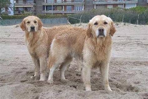 perros apareamiento descubre por que los perros se pegan cuando se aparean