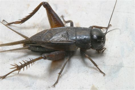 black crickets in house cricket control in the fall insects in the city