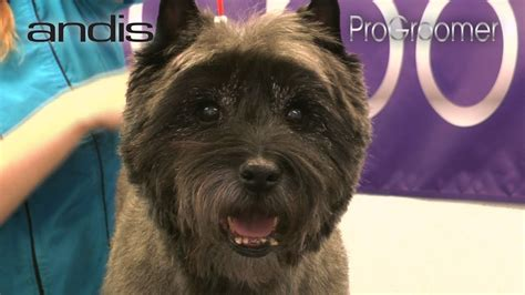 ho to cut a cairn grooming guide cairn terrier pet trim pro groomer