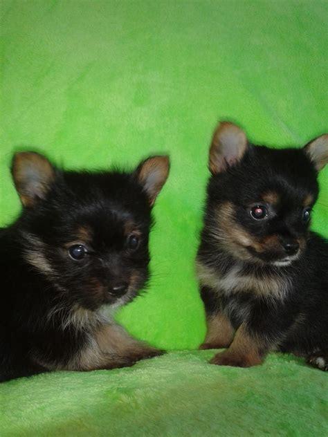 miniature yorkie breeders tiny pomeranian x miniature yorkie puppies wadhurst east sussex pets4homes