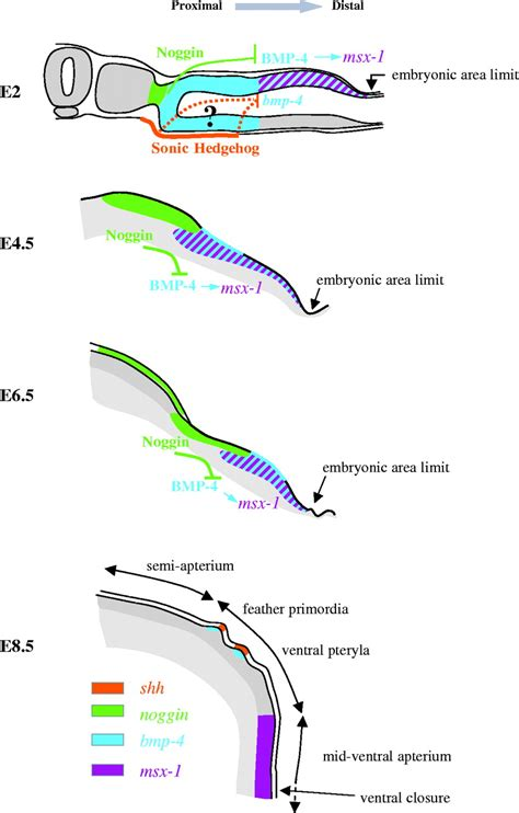 pattern formation in chick signaling dynamics of feather tract formation from the