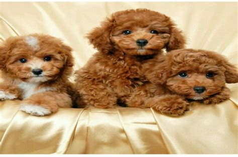 brown maltipoo puppies 30 fascinating facts about maltipoo dogs petoften