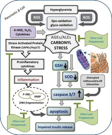 j dietary supplements impact factor carbonyl stress in aging process of vitamins and