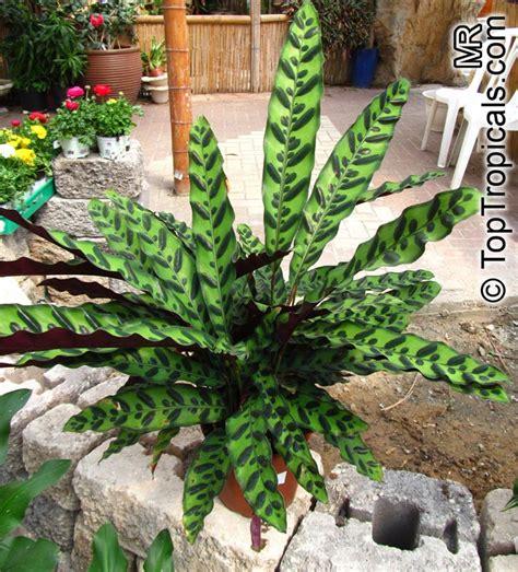 Calathea Lancifolia Insignis Rattlesnake Plant calathea insignis toptropicals