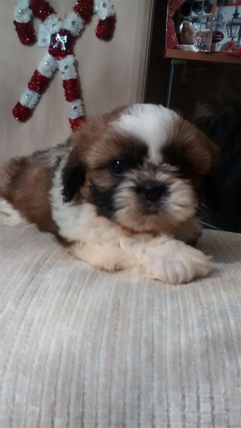 shih tzu puppies for sale in surrey adorable shih tzu puppies for sale cranleigh surrey pets4homes