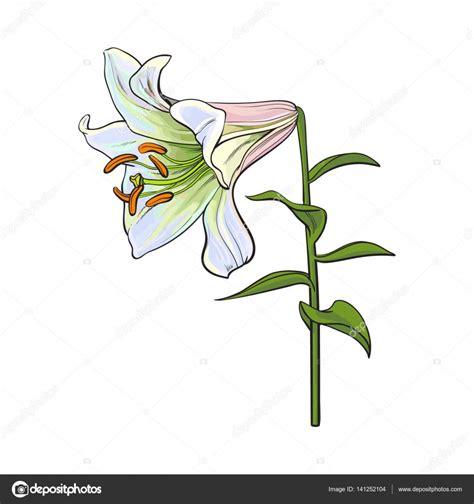fiore giglio bianco fiore giglio bianco singolo con gambo e le foglie