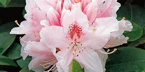 fiore rododendro rhododendron albert schweitzer rododendro cose di casa