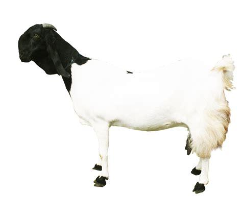 manfaat susu kambing etawa bagi kesehatan zona keren