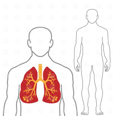 and human lungs and human 1790 healthcare royalty free vector clip