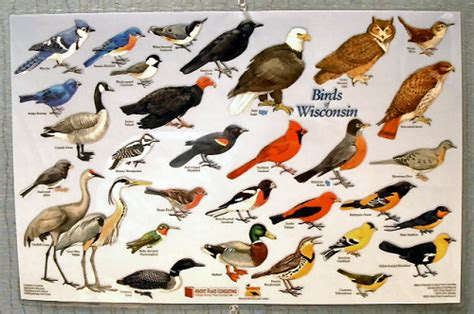 birds of wisconsin placemat wisconsin humane society