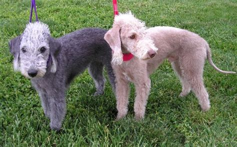 Leona Maxy find a great bedlington terrier name plus breed information