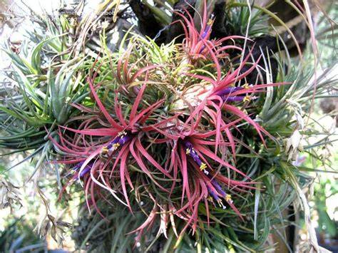 Tillandsia Blushing plantfiles pictures tillandsia bromeliad air plant