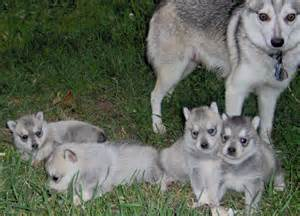 Alaskan Klee Kia Alaskan Klee And Puppies Photo And Wallpaper