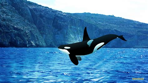 killer whale killer whale wallpaper 2017 2018 best cars reviews