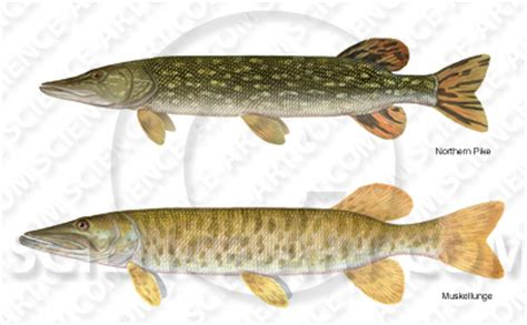 muskie and northern pike illustration@science art.com