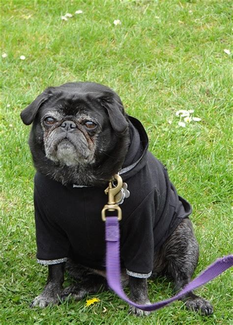 pug wear 35 best images about pugs on