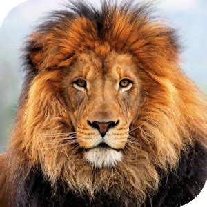 Lion HD Live Wallpaper   Android Apps on Google Play