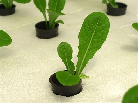 coltivazione idroponica in casa coltivazione idroponica in casa come coltivare senza