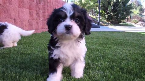 puppy avenue cavachons puppies for sale puppy avenue kennel