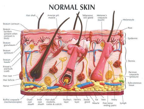 skin diagram labeled hair follicle model labeled images biology