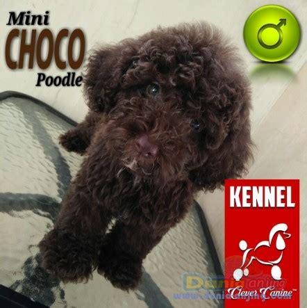 Mini 2 Bulan dunia anjing jual anjing poodle dijual choco mini poodle jantan 2 bulan