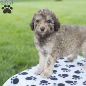 puppies for sale in nj 300 standard poodle puppies for sale nj dogs in our photo