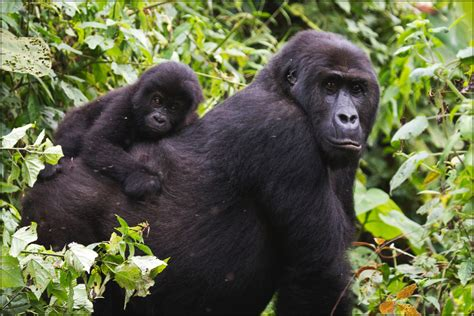 Mother and Infant Eastern Lowland Gorilla Move Through For ...