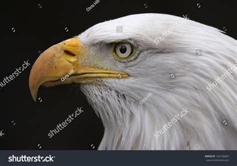 Faces Of The Nation Search The Of A Bald Eagle Haliaeetus Leucocephalus The Bird Is The National