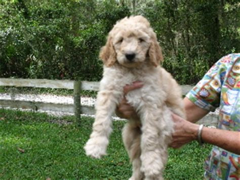goldendoodle puppies florida goldendoodles florida kennel brooksville acres boarding