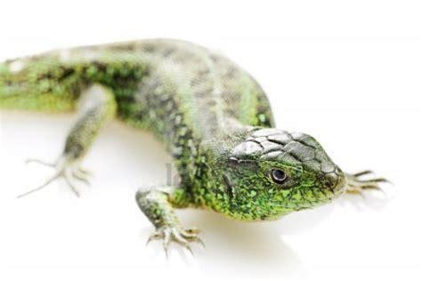 Dessin En Couleurs 224 Imprimer Animaux Reptiles