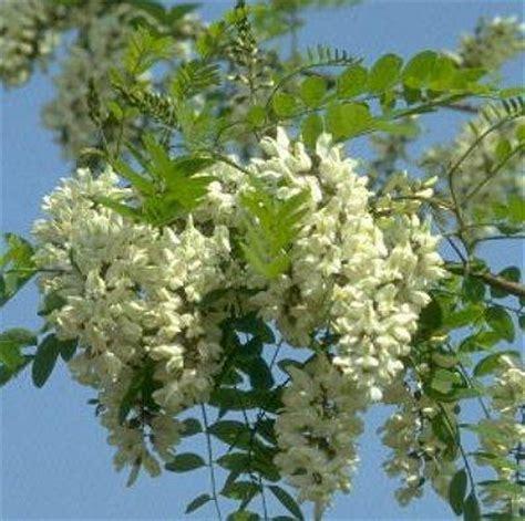marmellata di fiori di acacia altre ricette con i fiori di acacia risotto frittata