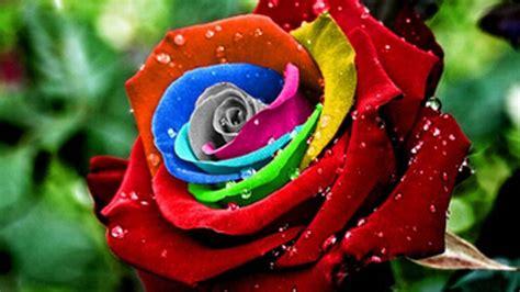 rainbow colored roses blue strawberries and rainbow colored roses buyer beware