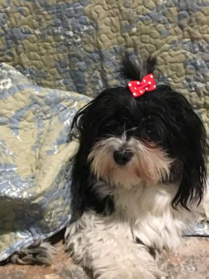 havanese puppies for sale in uk adorable havanese puppies for sale crowthorne berkshire pets4homes