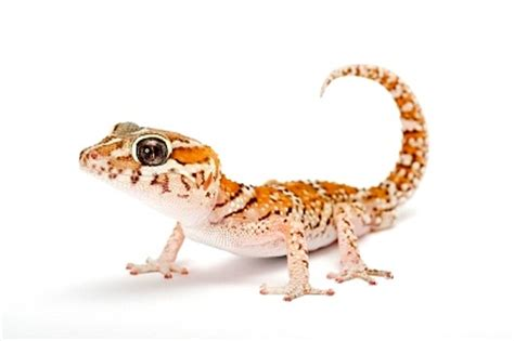 the gecko zone the panther gecko