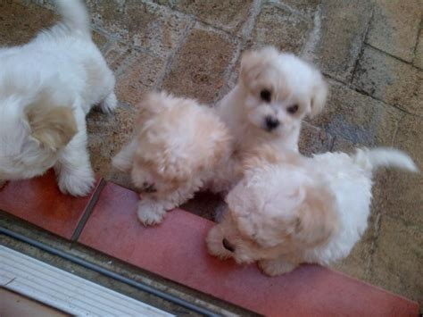 miniature maltese puppies for sale miniature maltese puppies for sale boksburg breeds