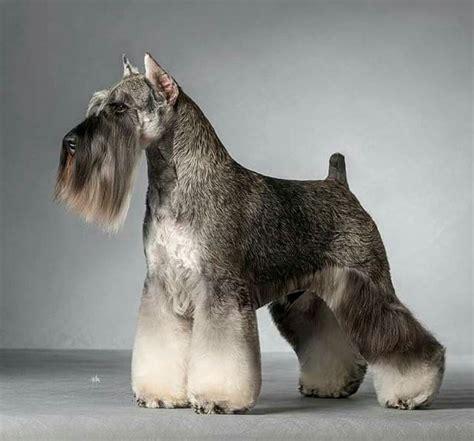 stripping schnauzer puppy cut 18 best hand stripping images on pinterest dog grooming