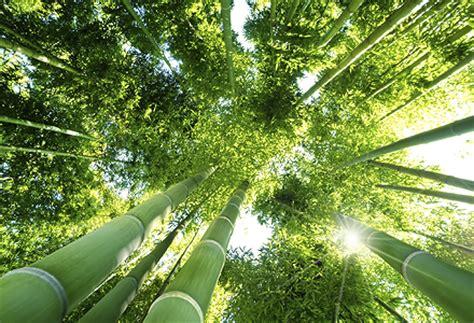 bambusul de gradina – sfaturi despre ingrijirea lui