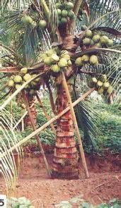 Bibit Kelapa Hibrida Di Lung kelapa hibrida semakin di lirik dan di minati pekebun