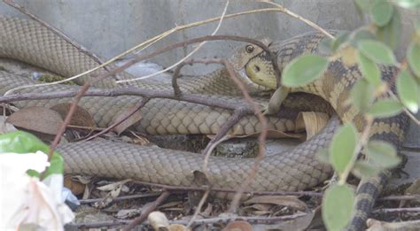 How To Keep Lizards Away From Front Door Snake 1 Blue Tongue 0 Newcastle Herald
