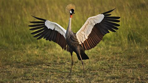 birds dancing cranes grey crowned crane wallpaper