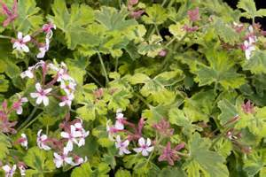best scented geranium 169 best images about scented geraniums on