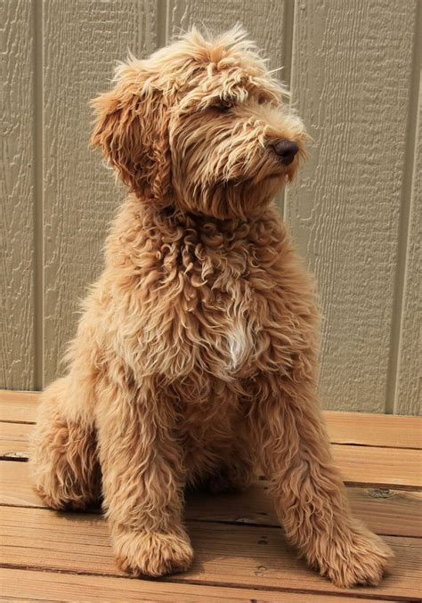 how much are labradoodle puppies 25 best ideas about labradoodle on labradoodle pictures australian