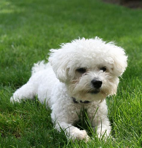 maltese bichon puppies maltese bichon puppies breeds picture