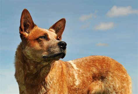 how to an australian cattle puppy australian cattle breed information pet365