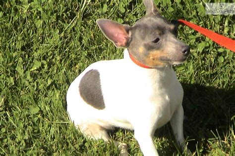 teddy roosevelt terrier puppies for sale teddy roosevelt terriors rat terrier for sale breeds picture