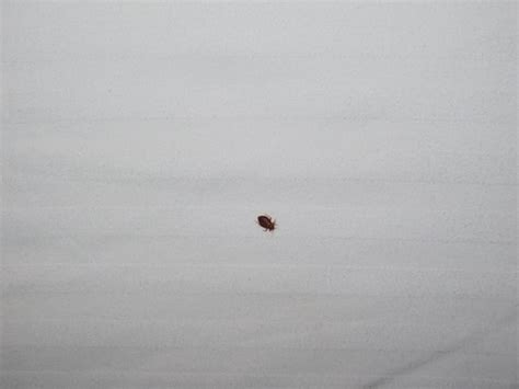 bed bugs denver poison used to kill bed bugs bed bugs denver flying red