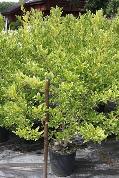 sternmagnolie kaufen sternmagnolie royal magnolia stellata royal
