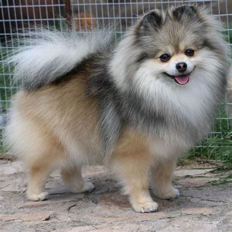 pomeranian nose kleinspitz www pixshark images galleries with a bite