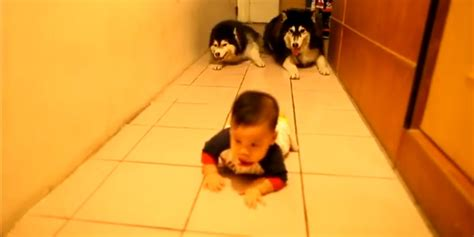 Imitating For by Dogs Imitate Crawling Baby